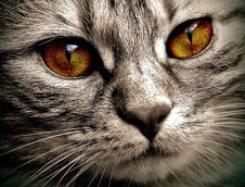 Free Cat, Whiskers, Eye, Mammal Stock Images - 100625394