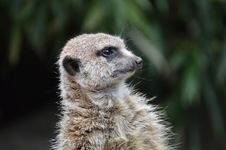 Free Meerkat, Mammal, Fauna, Whiskers Royalty Free Stock Images - 100625929