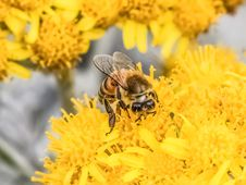 Free Honey Bee, Bee, Yellow, Insect Stock Photo - 100625940