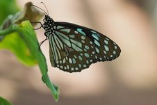 Free Butterfly, Moths And Butterflies, Insect, Brush Footed Butterfly Royalty Free Stock Image - 100626106