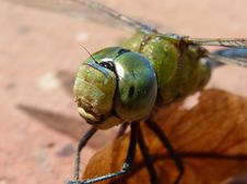 Free Insect, Invertebrate, Dragonflies And Damseflies, Dragonfly Royalty Free Stock Photo - 100626125