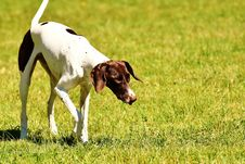 Free Dog Breed, Grass, Old Danish Pointer, Pointer Royalty Free Stock Photo - 100626265