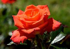 Free Rose, Flower, Rose Family, Garden Roses Stock Photography - 100626422