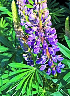 Free Plant, Flower, Lupin, Flora Stock Photo - 100626460