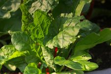 Free Leaf, Chard, Plant, Leaf Vegetable Stock Photos - 100626523