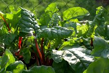 Free Plant, Leaf, Vegetation, Chard Stock Images - 100626894