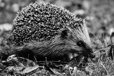 Free Hedgehog, Erinaceidae, Black And White, Domesticated Hedgehog Royalty Free Stock Image - 100627706