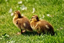 Free Bird, Fauna, Duck, Ducks Geese And Swans Stock Images - 100627794