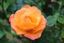 Free Rose, Flower, Rose Family, Floribunda Stock Photography - 100627872