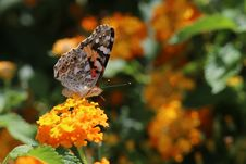 Free Butterfly, Moths And Butterflies, Insect, Brush Footed Butterfly Stock Photo - 100628280