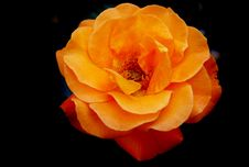 Free Flower, Rose, Rose Family, Orange Stock Photos - 100628523