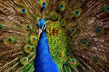 Free Peafowl, Galliformes, Fauna, Feather Royalty Free Stock Image - 100628606