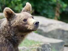 Free Brown Bear, Mammal, Bear, Terrestrial Animal Royalty Free Stock Images - 100630069