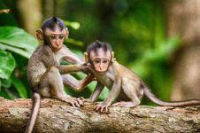 Free Macaque, Mammal, Fauna, Primate Stock Image - 100630261