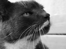 Free Cat, Whiskers, Black, White Stock Images - 100630694