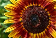 Free Flower, Sunflower, Close Up, Flora Royalty Free Stock Photography - 100631007