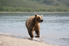 Free Brown Bear, Mammal, Grizzly Bear, Bear Stock Photo - 100631150
