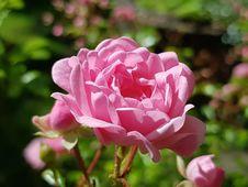 Free Flower, Rose Family, Rose, Pink Royalty Free Stock Image - 100631456