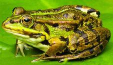 Free Ranidae, Amphibian, Toad, Frog Royalty Free Stock Photos - 100632808