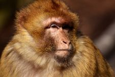 Free Macaque, Mammal, Fauna, Primate Stock Photo - 100632830
