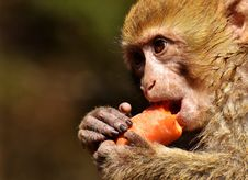 Free Macaque, Mammal, Fauna, Primate Royalty Free Stock Images - 100633239