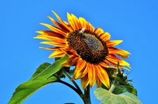 Free Flower, Sunflower, Sunflower Seed, Sky Royalty Free Stock Photos - 100633338