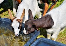 Free Goats, Goat, Cow Goat Family, Fauna Royalty Free Stock Image - 100633636
