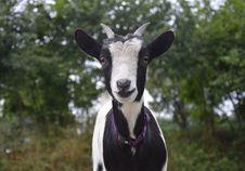 Free Goats, Goat, Cow Goat Family, Goat Antelope Royalty Free Stock Image - 100633756