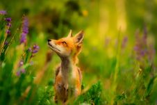 Free Fox, Wildlife, Red Fox, Mammal Stock Photos - 100633853