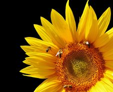 Free Flower, Sunflower, Yellow, Sunflower Seed Stock Photos - 100633953