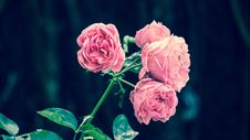 Free Flower, Rose, Pink, Rose Family Stock Photos - 100637553