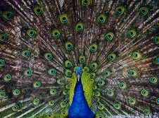 Free Peafowl, Galliformes, Feather, Organism Royalty Free Stock Photography - 100637677