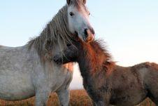 Free Horse, Horse Like Mammal, Mustang Horse, Mane Stock Photos - 100638243