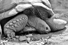 Free Tortoise, Turtle, Black And White, Fauna Royalty Free Stock Images - 100638439