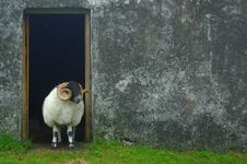 Free Sheep, Fauna, Grass, Snout Stock Photography - 100638622