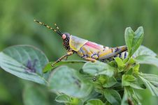 Free Insect, Grasshopper, Cricket Like Insect, Invertebrate Royalty Free Stock Photos - 100638778