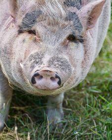 Free Pig Like Mammal, Pig, Fauna, Domestic Pig Stock Photo - 100645540