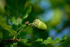 Free Acorn, Vegetation, Leaf, Branch Royalty Free Stock Photo - 100646085