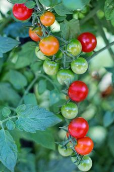 Free Natural Foods, Fruit, Tomato, Potato And Tomato Genus Stock Image - 100652211