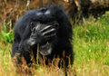 Free Chimpanzee Stock Photography - 10070102