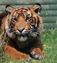 Free Tiger Animal Stock Photo - 10075220