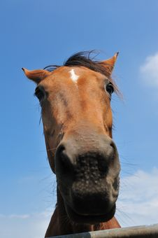 Free Beautiful Brown Horse Stock Photography - 10070052