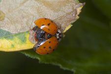 Free Ladybug Royalty Free Stock Photo - 10070075
