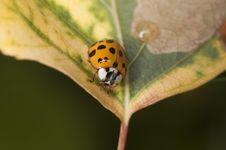 Free Ladybug Royalty Free Stock Photo - 10070095