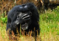 Free Chimpanzee Stock Photography - 10070102