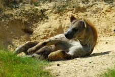 Free Spotted Hyena Stock Photography - 10070122