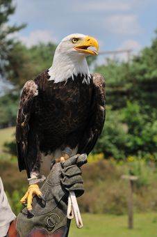 Free American Bald Eagle Stock Photos - 10070183