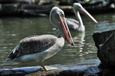Free Pelican Catching Some Fish Royalty Free Stock Image - 10070226