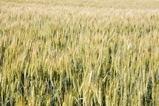 Free Field Of Rye Royalty Free Stock Images - 10072199