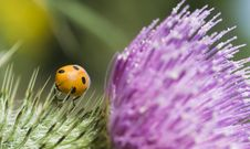Free Ladybird On A Pink And Green Thistle Royalty Free Stock Photo - 10072535